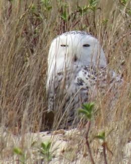 Snowy Owl_1